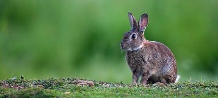 GamAlive présente : Vie et moeurs des lapins